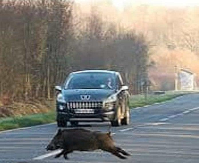 Sbuca un cinghiale e l'auto finisce fuori strada per evitarlo. Giovane lievemente ferito - CasertaCE